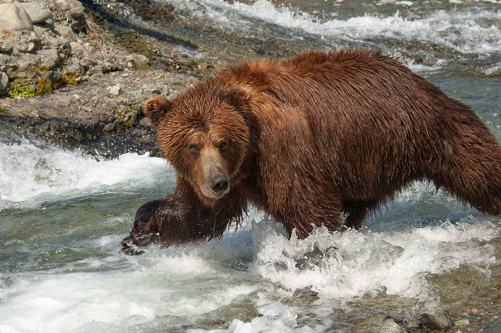 Alaskan Coastal Brown Bear in Katmai National Park and Preserve