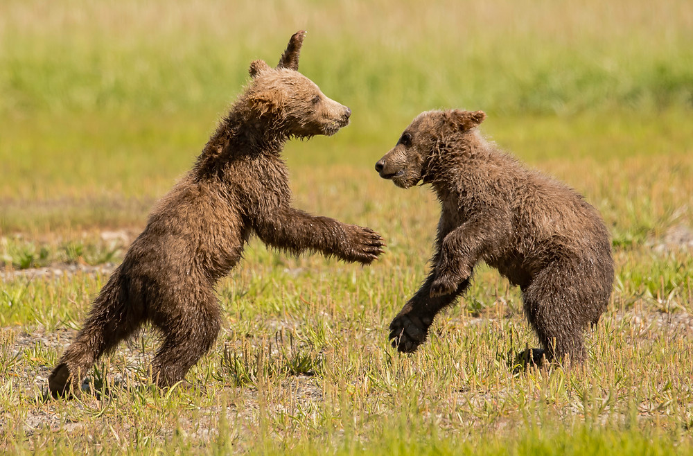 Two brown bear cubs wrestling in Katmai National State Park and Preserve