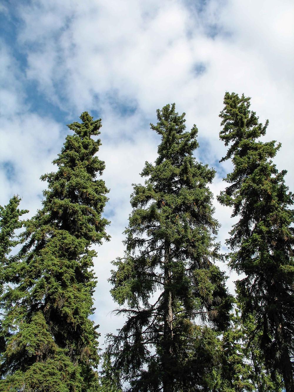 Mature white spruce in Fairbanks, Alaska.