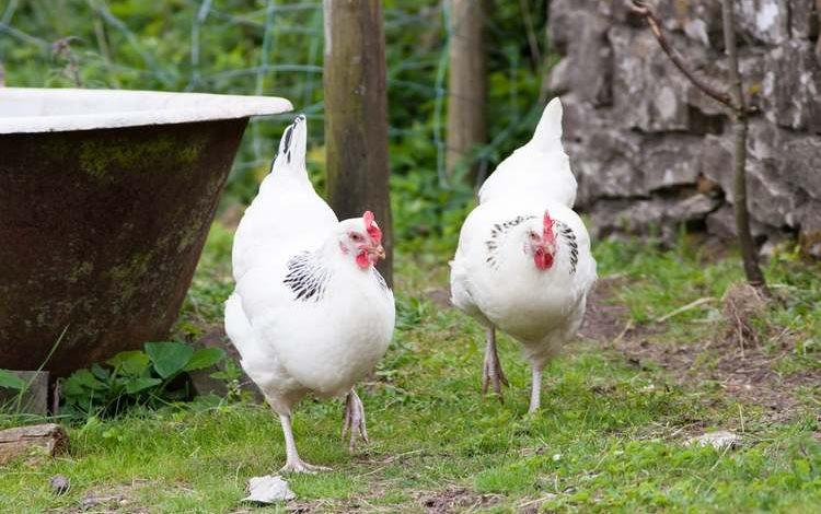 poules-sussex.jpg
