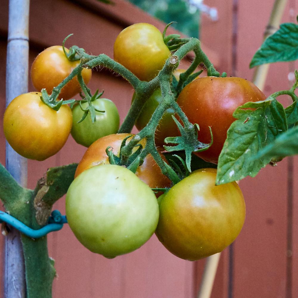 Bio Sannie organic Tomatoes. Our first 100% organic tomatoes :)))