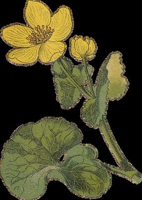 25 Caltha palustris - Marsh-Marigold.png