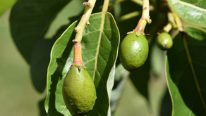 Avocados Can Produce in Mississippi Gardens