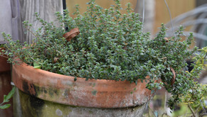Try Rosemary and Thyme in Home Gardens, Containers