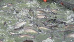 Labor Shortages Limit Catfish Supplies, Raise Prices