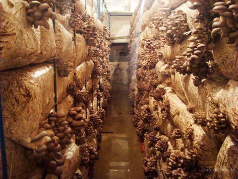 Увлажнение грибов вешенка