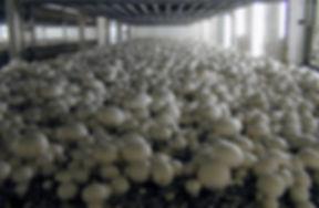 Увлажнение грибов шампиньонов