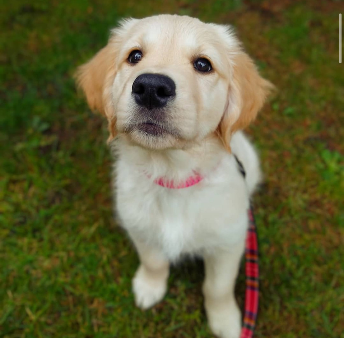 @assistancebyastrid has been a member since September 2020 and is a golden retriever puppy. Astrids hilarious quirk is that she sounds like a guinea pig when she dreams