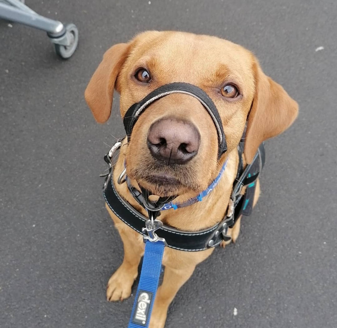 @sergeant_the_saviour has been a member since September 2020 and is a adult fox red labrador. Their favourite quirk is finding delicious loaves of bread in the cupboard to sneak.