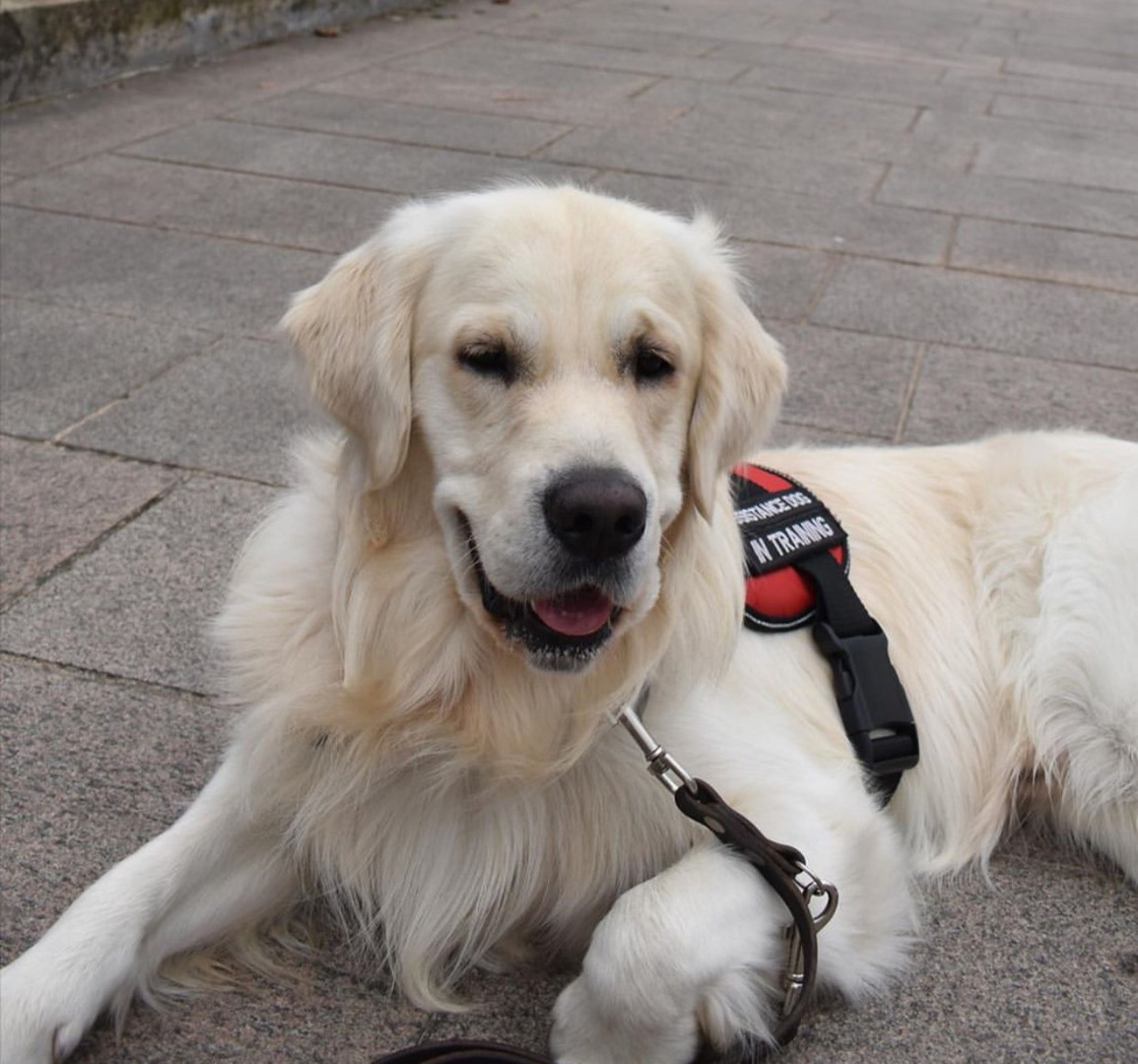 @jess_and_percy  Percy has been a member since June 2020 and is a adult golden retriever. His handlers favourite thing about him is his very expressive face especially when it comes to hotdog sausages.