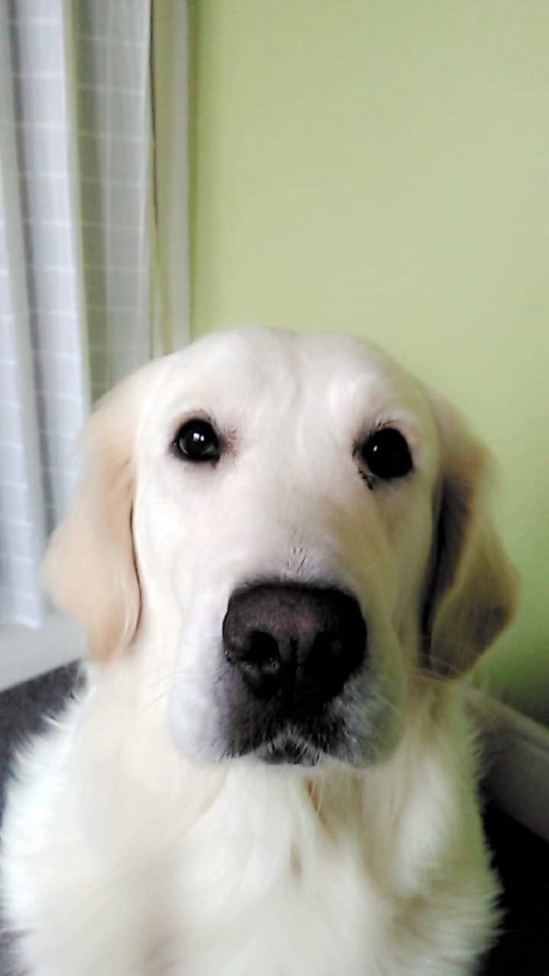 Sapphire has been a member since april 2020. Shes a golden retriever who was rehomed as a adult and began training as soon as she was brought home late 2019. Sapphire is a typical golden, very snuggly and sleepy and her favourite food is apple.