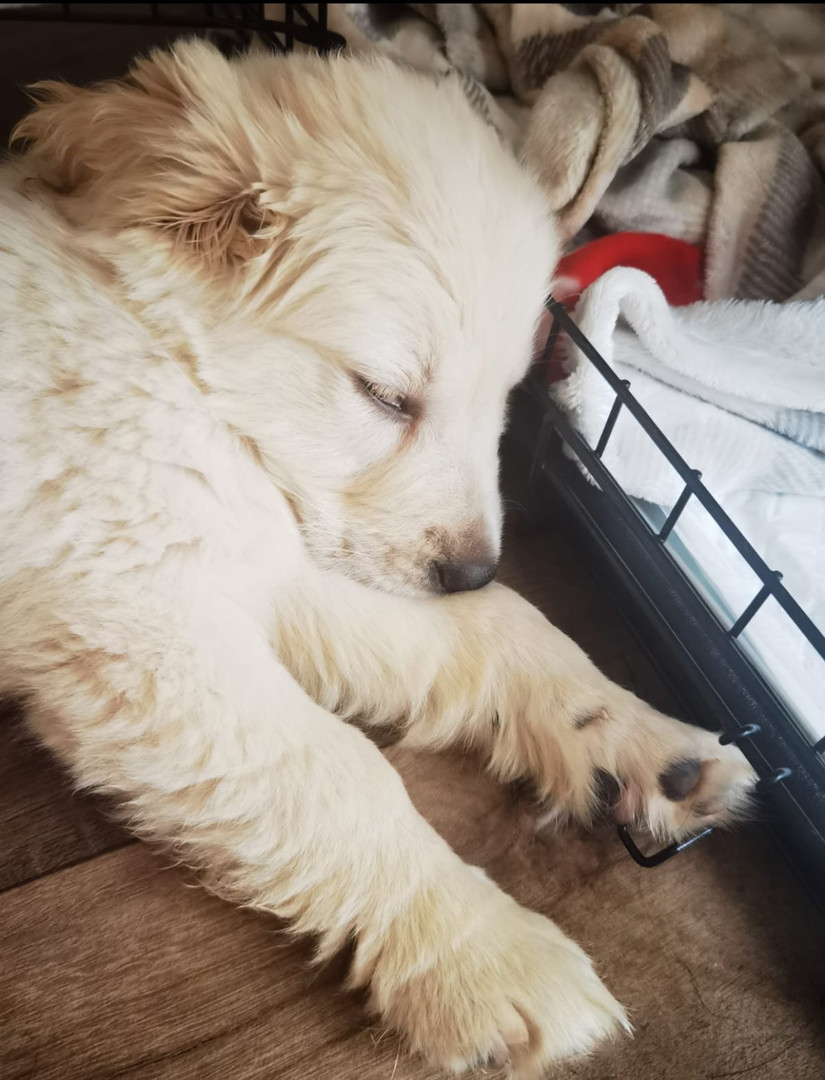 @miloand.marley has been a member since September 2020 and is a golden retriever puppy. Marleys favourite activities so far include playing with his older brother Milo