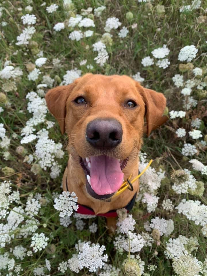 @_thereddaisy_  Daisy has been a member since September 2020 and is a fox red labrador.  Daisy adores tennis balls and the beach so put together her favourite activity is burying tennis balls in sand.
