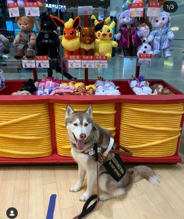 @lucian_hood  Luk has been a member dog since august 2020 and is an adult Siberian husky Luk does anything for food and loves to learn. His enthusiasm to task is what his handler says is so fantastic about him.