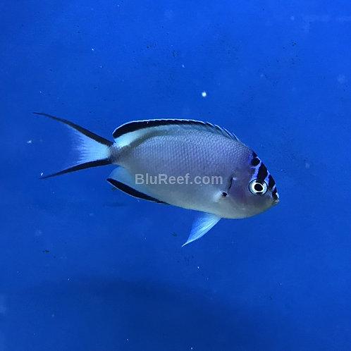 Watanabei Angelfish Female (Genicanthus watanabei)