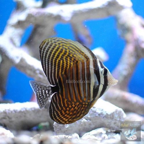Desjardini Sailfin Tang (Zebrasoma desjardini)