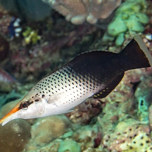 Brown Bird Wrasse Female (Gomphosus varius)