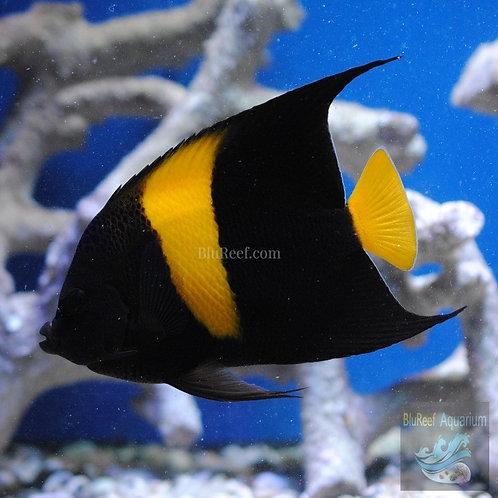 Asfur Arabian Angelfish (Pomacanthus Asfur)