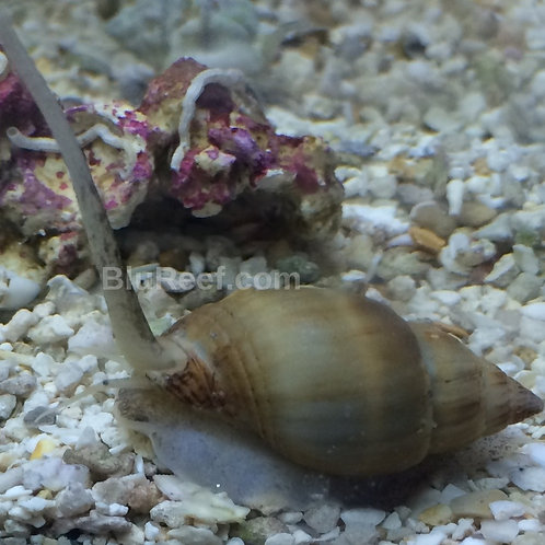 Super Tongan Nassarius Snail (Nassarius distortus)