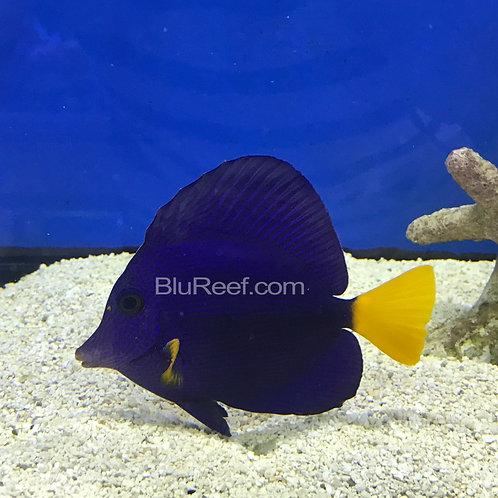 Red Sea Purple Tang (Zebrasoma xanthurum)
