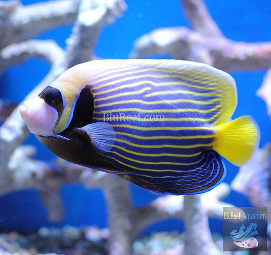 Emperor Angelfish Adult (Pomacanthus imperator)