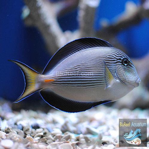 Sohal Tang (Acanthurus sohal)