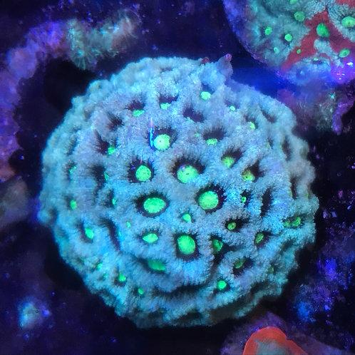 Moon Coral (Favia)