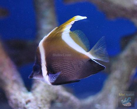 Brown Heniochus Butterflyfish Heniochus varius