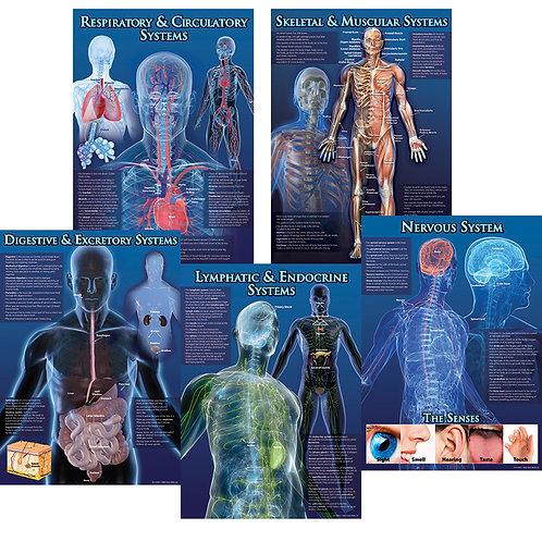 Human Body Facts Bulletin Board Set