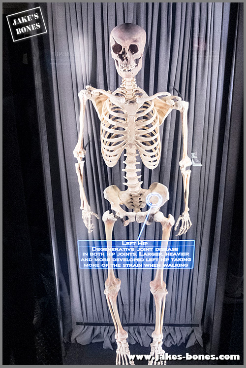 Jorvik skeleton on display