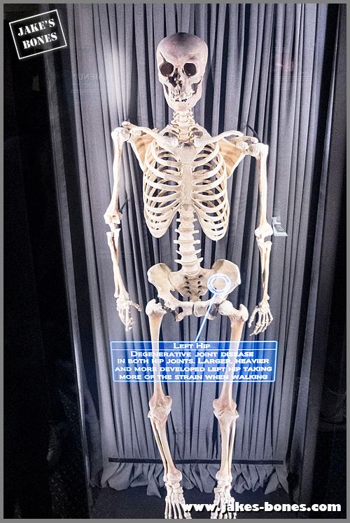 Jorvik skeleton on display