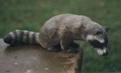 raccoon sculpture