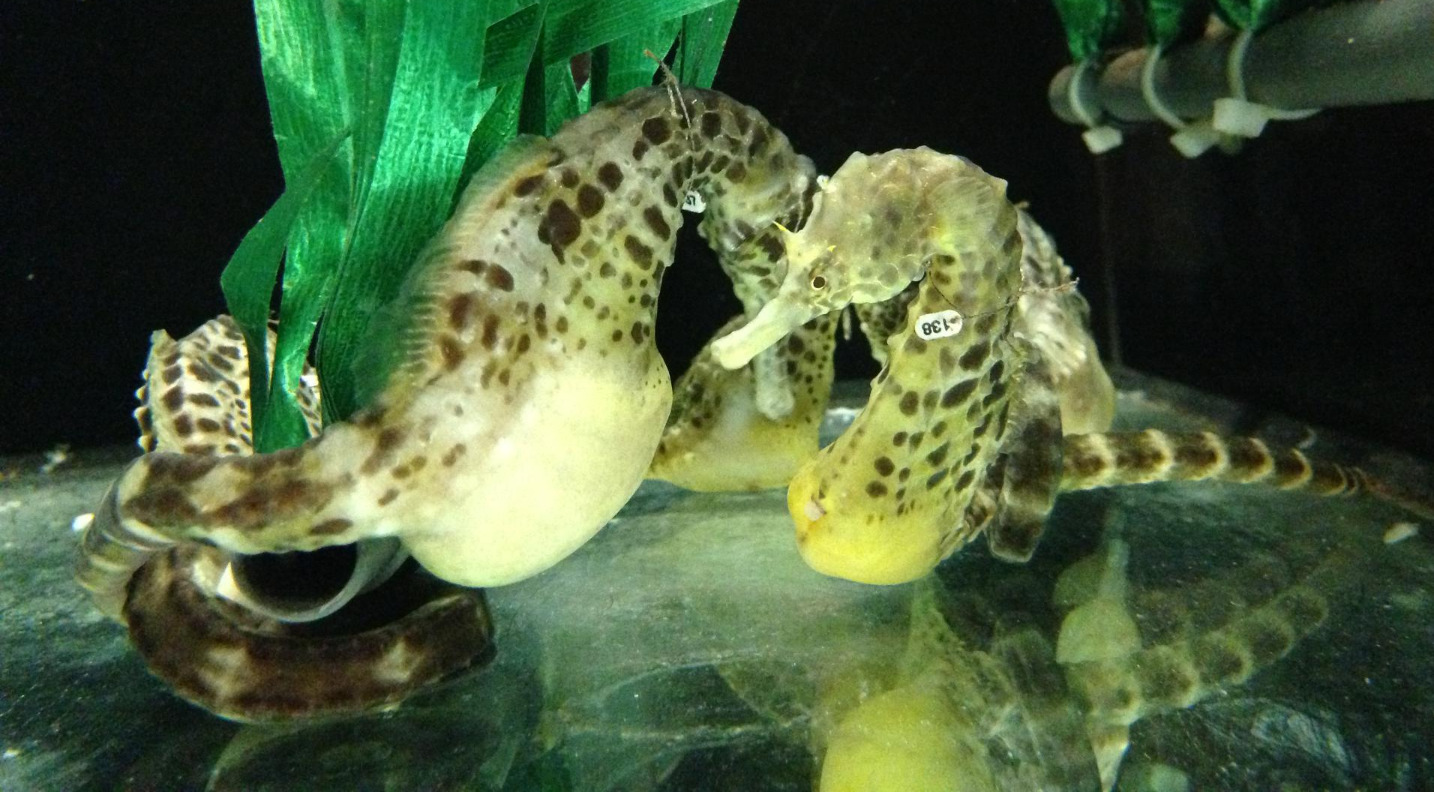 Pot-bellied seahorses
