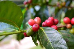 caffè_verde_pianta_green_coffe