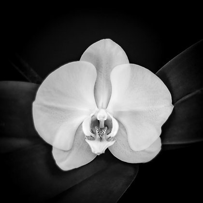 White Orchid Winter