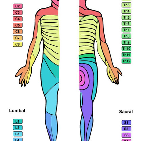 What is a Dermatome?