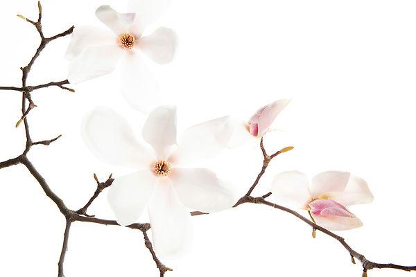 Magnolia Myriam Ramel www.lumieredujour.