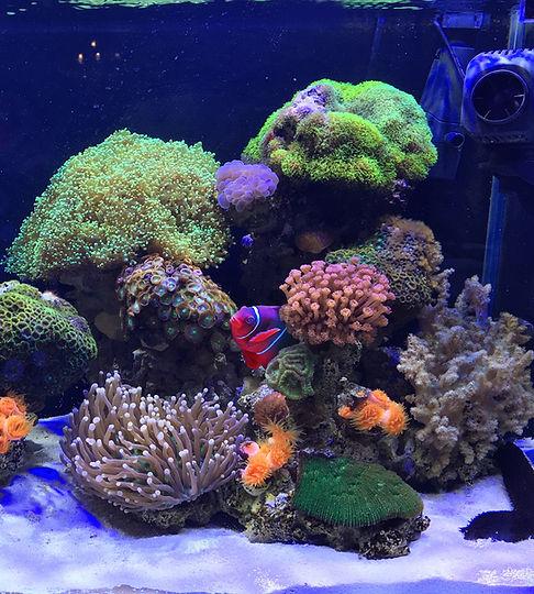 Clownfish no aquário