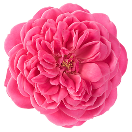2020_Rosa-Fruity-11497.png