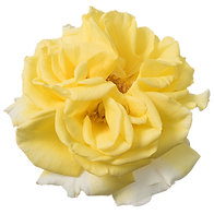 Rosa-Incredible-Lemon-550p.png