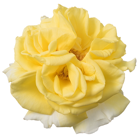 Rosa-Incredible-Lemon-550p.png