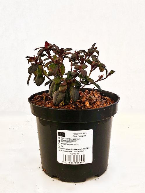 Rhododendron japonicum 'Maruschka'