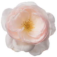 Rosa-Incredible-Delicate-550p.png