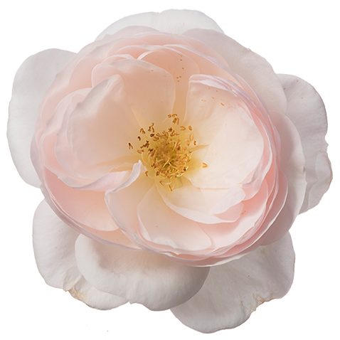 Rosa-Incredible-Delicate-550p.png