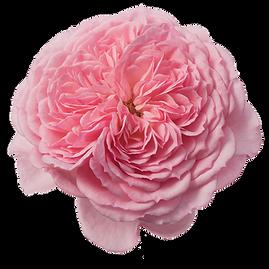 Rosa-Incredible-Sweet-550p.png