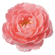 Rosa-Incredible-Spicy-550p.png