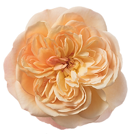 Rosa-Incredible-Exotic-550p.png