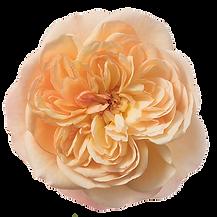 Rosa-Incredible-Exotic-550p.png