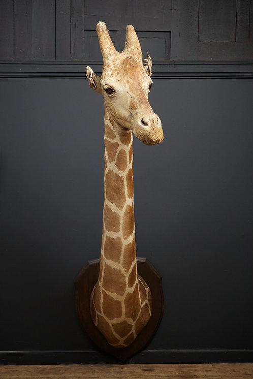 Rowland Ward Taxidermy Giraffe