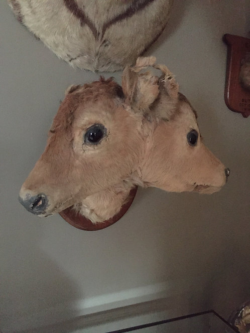 Genuine Victorian 2 Headed Calf